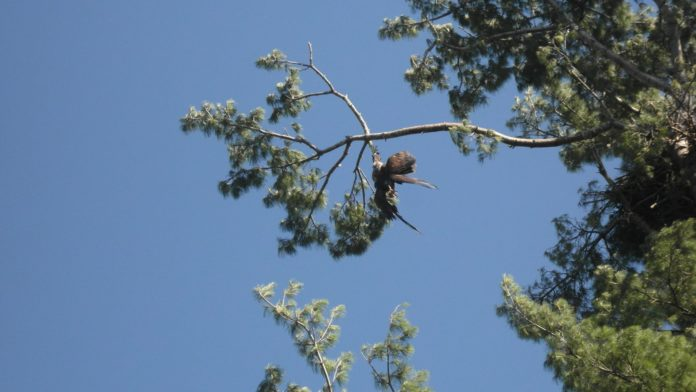 Everyone Had Given Up On An Eagle Stuck In A Tree -- Except For This U.S. Army Veteran